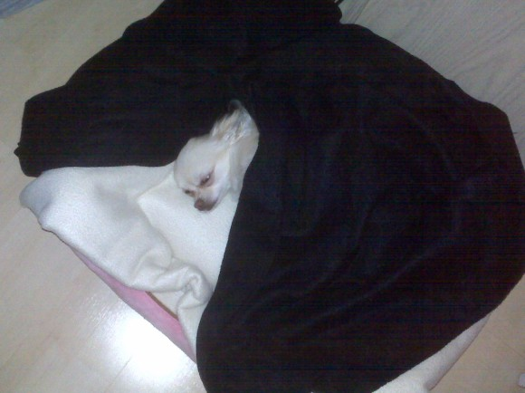Chihuahuas Love to Tunnel Under Blankets